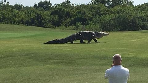 '몸길이만 5m'…골프장서 포착된 괴물 악어