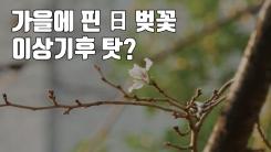 [자막뉴스] 가을에 난데없이 핀 日 벚꽃...이상기후 탓?