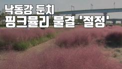 [자막뉴스] 낙동강 둔치 분홍빛 핑크뮬리 물결 '절정'