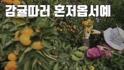 """[자막뉴스] """"항공·숙박비도 주니 제주에 감귤따러 오세요!"""""""