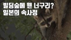 [자막뉴스] '빌딩숲에 웬 너구리?' 일본의 속사정
