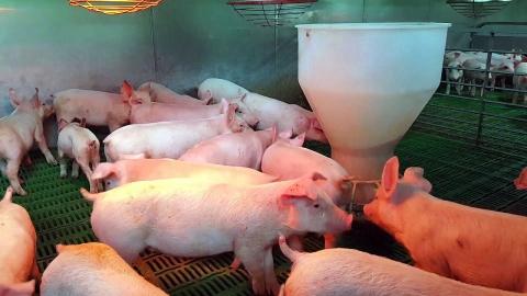 유산균 돼지…구제역에 강하고 육질도 좋더라.