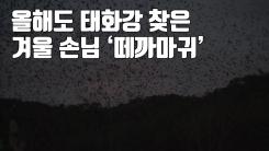 [자막뉴스] 올해도 태화강 찾은 겨울 손님 '떼까마귀'