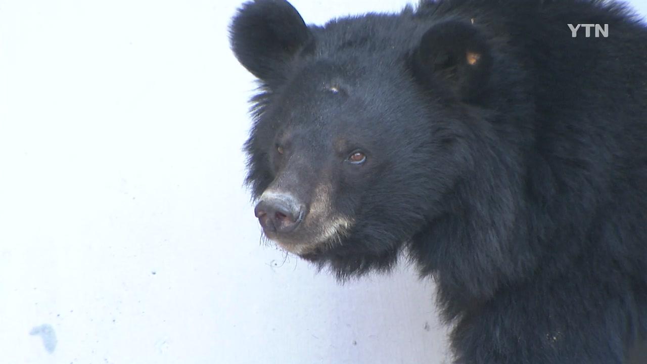 태어나자마자 철장에 갇힌 곰...국내 사육 곰 첫 구출