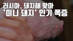[자막뉴스] 돼지해 맞아 '미니 돼지' 인기 폭발한 러시아 상황
