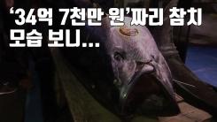 [자막뉴스] 무려 '34억 7천만 원'에 낙찰된 참치, 모습 보니...