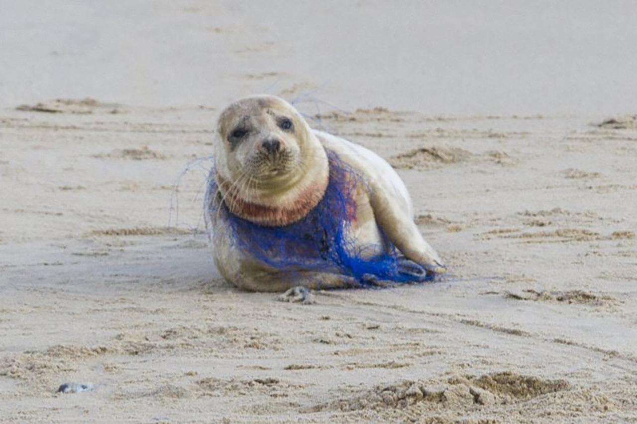 목에 쓰레기 그물 감긴 채 발견된 물범...핏자국에 질식사 위험