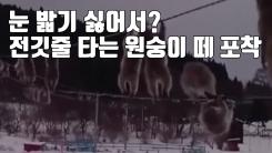 [자막뉴스] 눈 밟기 싫어서? 전깃줄 타는 원숭이 떼 포착