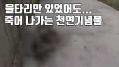[자막뉴스] 울타리만 있었어도...죽어 나가는 천연기념물