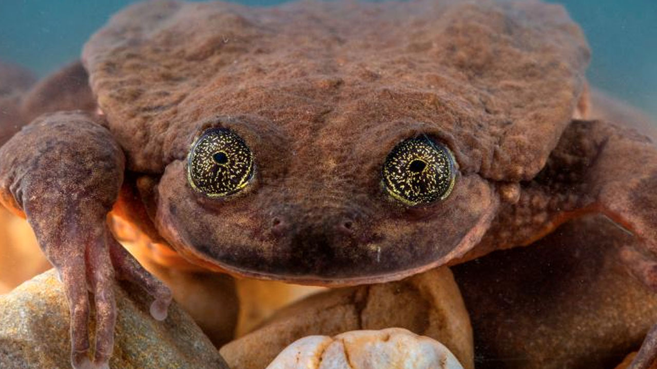 전 세계 단 한 마리...외로운 개구리 10년 만에 짝 찾아
