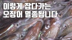 [자막뉴스] '총알 오징어'까지 싹쓸이...'제2의 명태' 우려