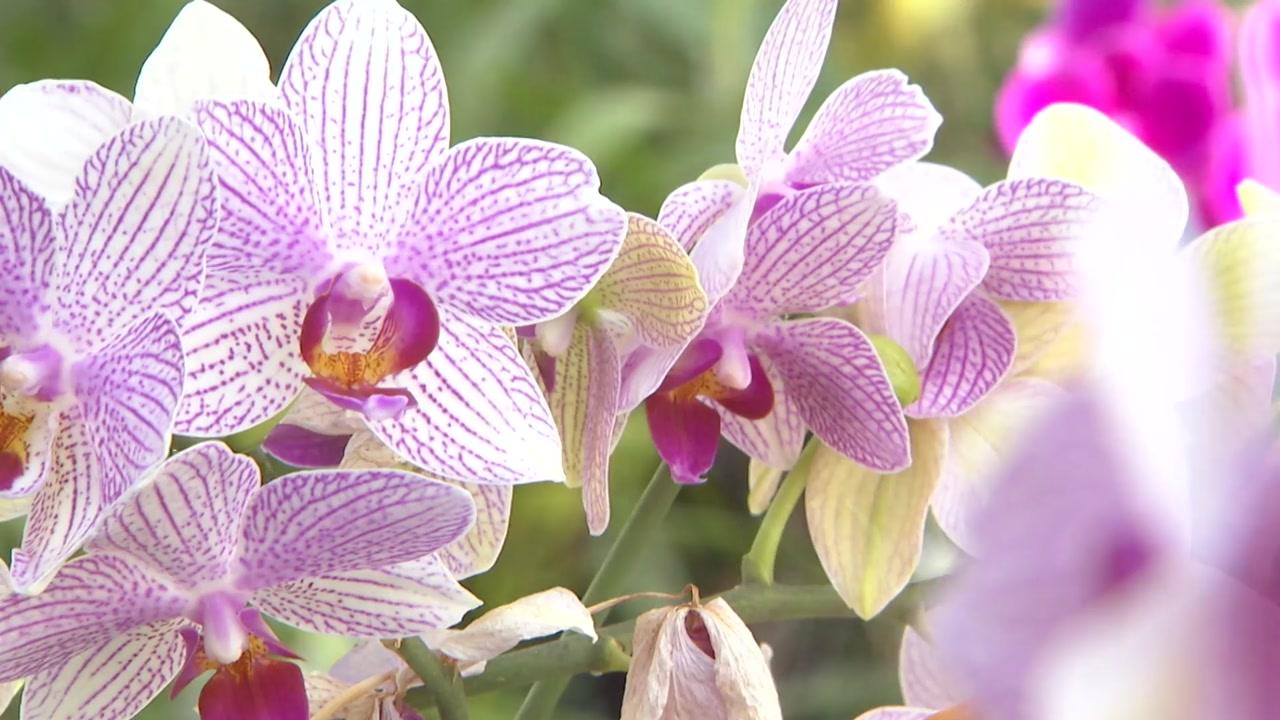 입춘에 찾아온 나비꽃...호접란