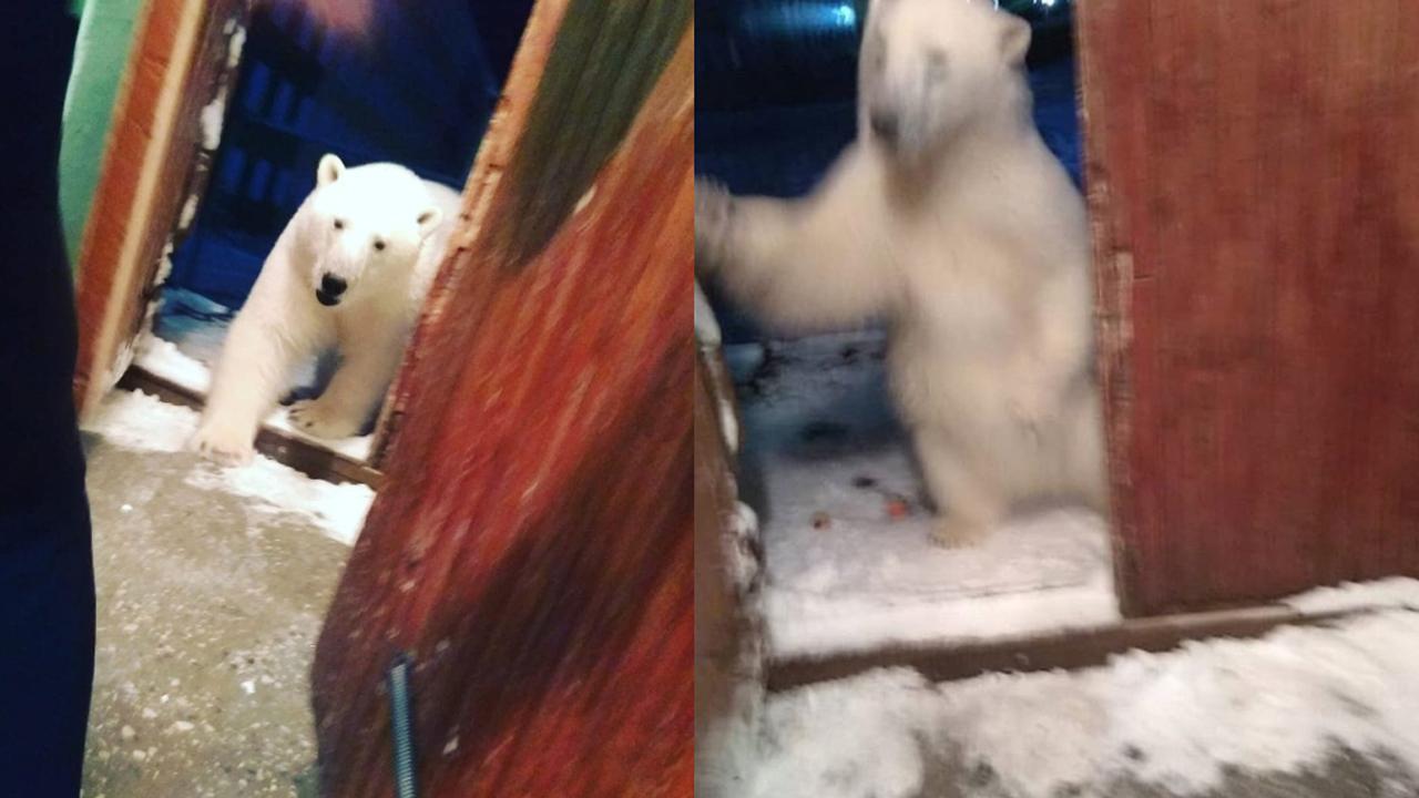 굶주린 북극곰 50마리, 러시아 마을 점령... 주민들 대피 소동