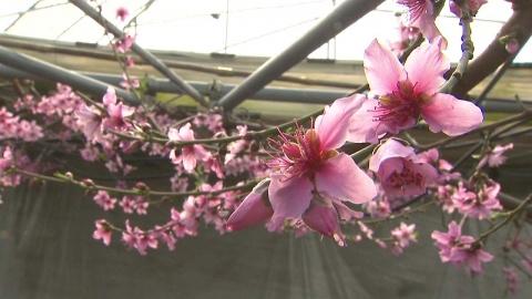 추위 속 따스한 봄기운…비닐하우스 안 복사꽃 만개