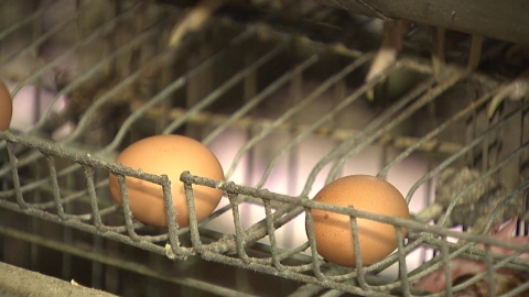 모레(23일)부터 달걀 껍데기에 산란일 표시한다