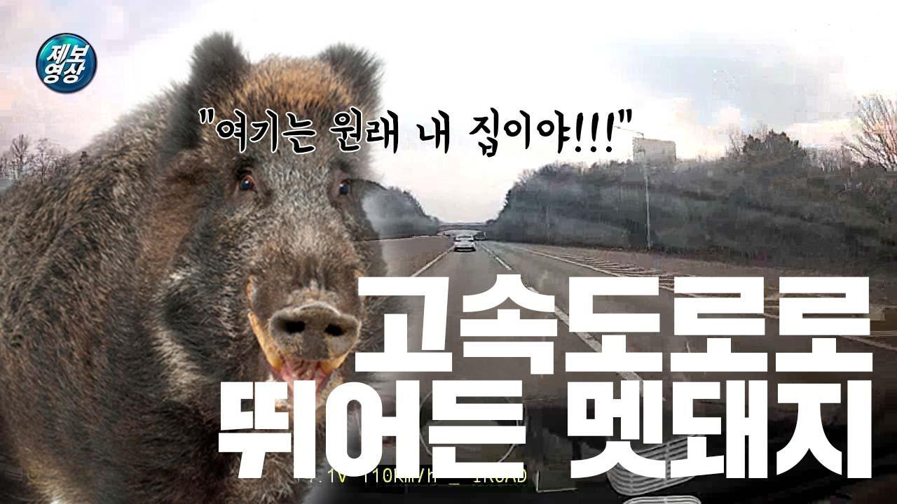 [제보영상] 고속도로로 뛰어든 멧돼지