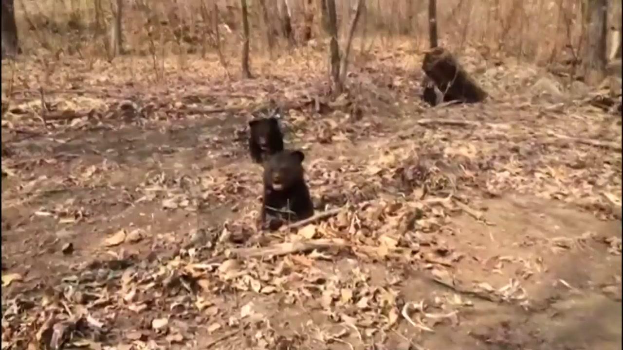 [영상] 엄마 잃은 아기곰 3마리 새 보금자리에...