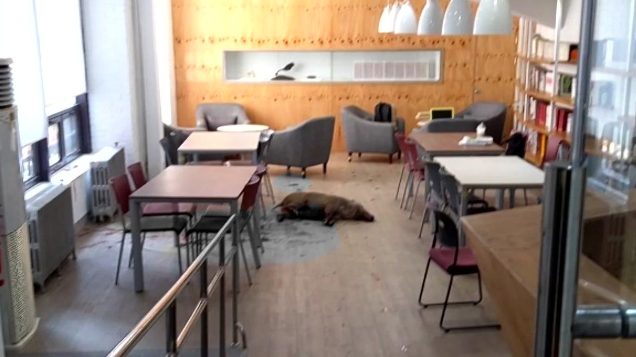 대학교 건물에 멧돼지 난입...학생 대피