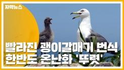 [자막뉴스] 빨라진 괭이갈매기 번식...한반도 온난화 '뚜렷'