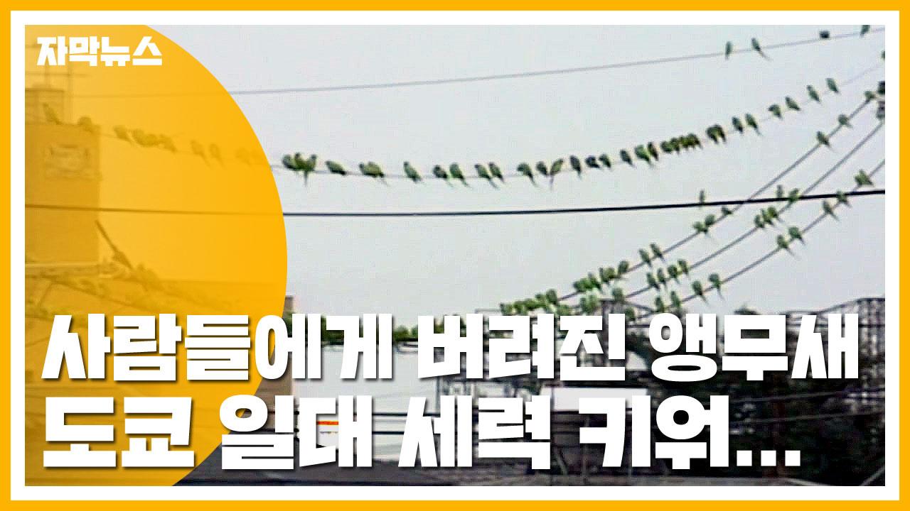 [자막뉴스] 사람들에게 버려진 앵무새, 도쿄 일대 세력 키워...
