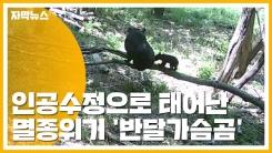 [자막뉴스] 인공수정으로 태어난 멸종위기 '반달가슴곰'