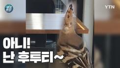 [제보영상] 까마귀 피해 카페로 대피한 아기 '후투티'