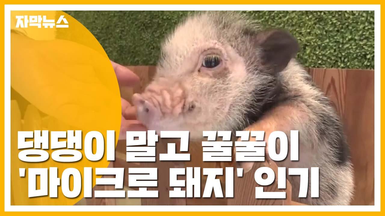 [자막뉴스] 새로운 반려동물로 인기...'마이크로 돼지'