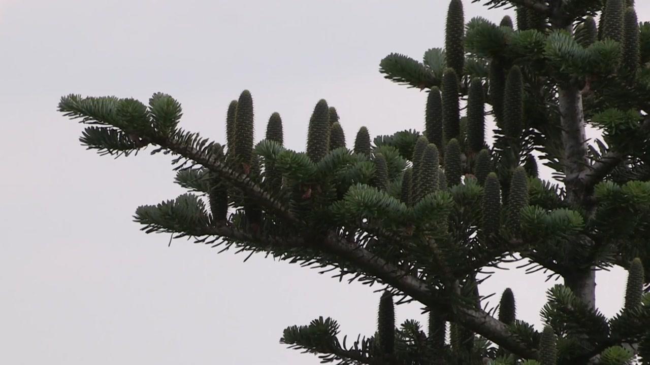 멸종위기 구상나무, 다문화 정책으로 살린다