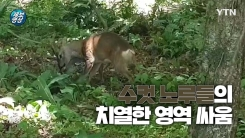 [제보영상] 노루들의 치열한 결투