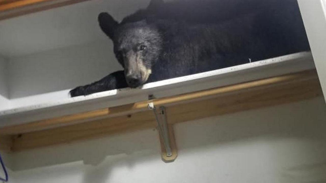 창문으로 들어온 곰, 가정집 옷장에서 낮잠 자다 발견