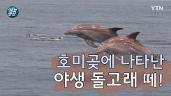 [제보영상] 포항에 등장한 야생 돌고래 떼