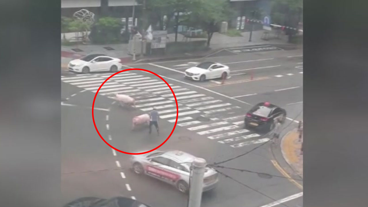 화물차에서 떨어진 돼지 2마리 김해 도로 활보
