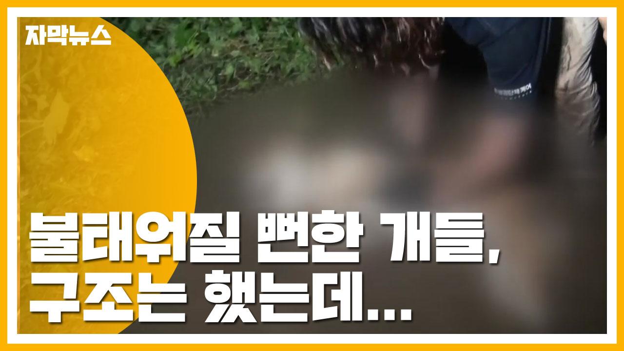 [자막뉴스] '복날' 앞두고 불태워질 뻔한 개들, 구조는 했는데...