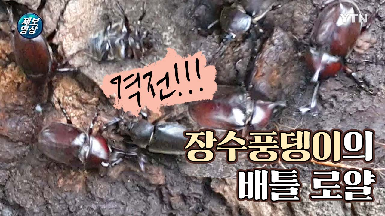 [제보영상] 등산로 격전! 장수풍뎅이들의 나무 진액 쟁탈전