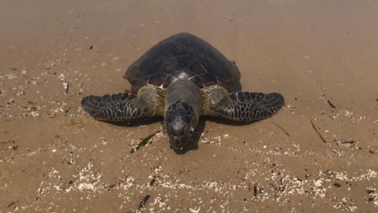 포항서 멸종위기종 푸른바다거북 사체 발견
