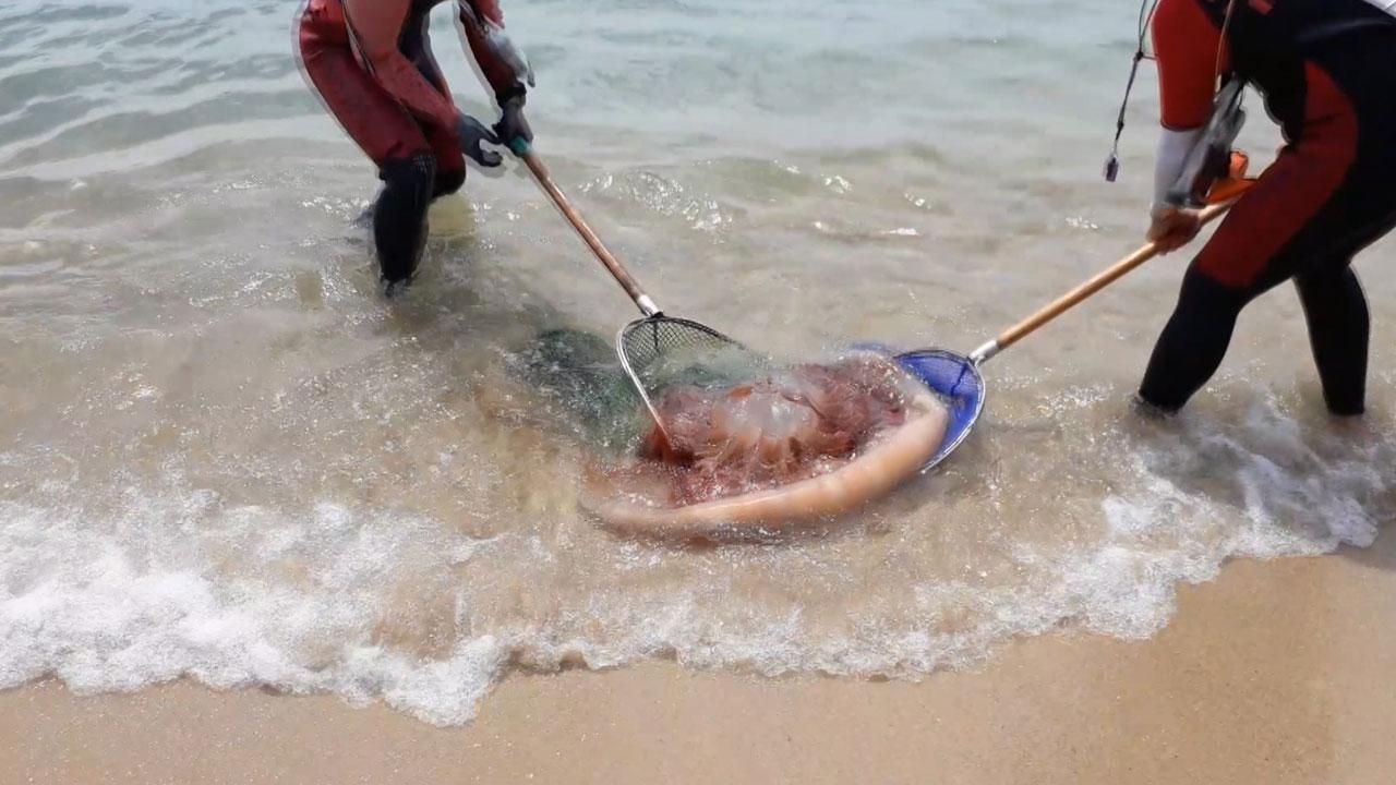 부산 해운대 해수욕장에 독성 해파리 떼 출현