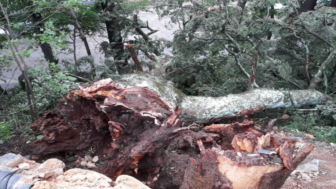 천연기념물 '해인사 학사대 전나무' 쓰러져