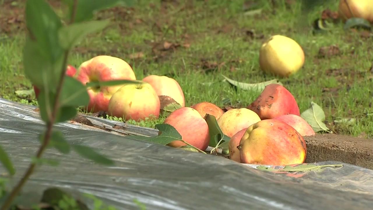 출하 앞둔 사과 우수수...1년 농사 헛수고