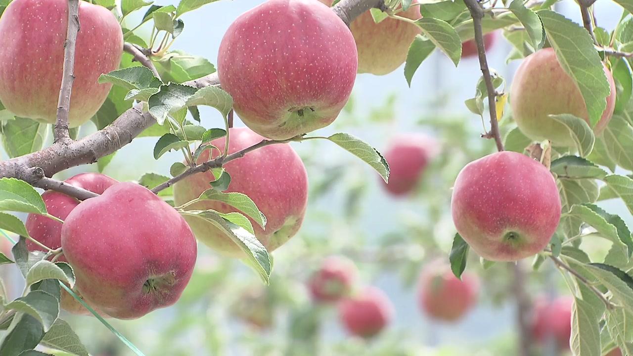 고랭지 채소밭이 사과 단지로...바뀌는 과일 지도
