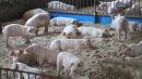 '폐사율 최대 100%' 아프리카돼지열병 국내 첫 발생