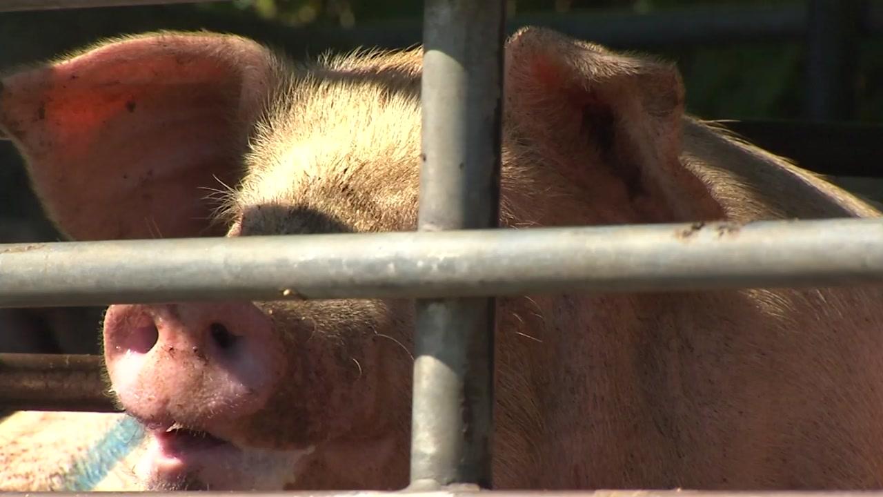 [속보] 경기도 연천 돼지농장, 아프리카 돼지열병 확진 판정