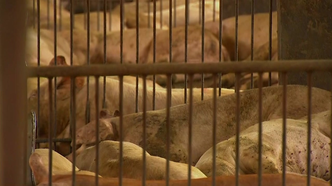 경기 연천 돼지농장, 아프리카돼지열병 '확진'