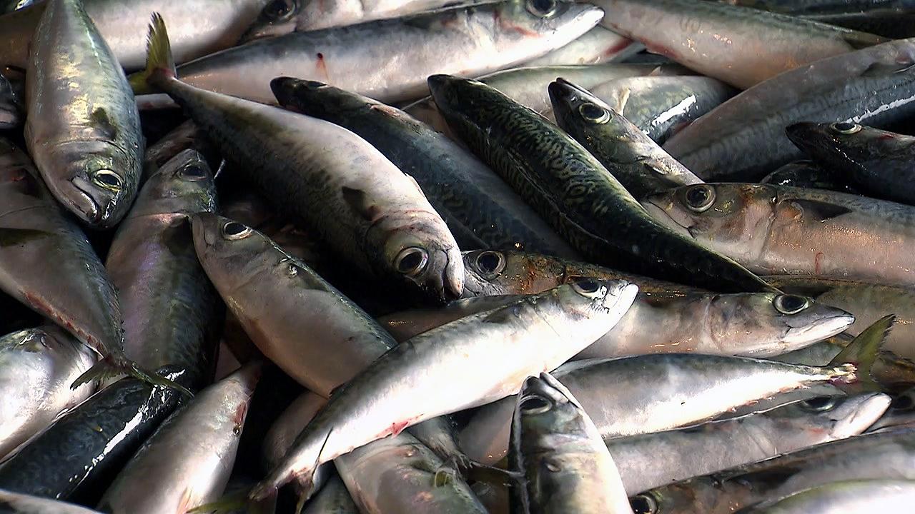 '국민 생선' 고등어 딜레마...자원 회복 나섰더니 '도산 위기'