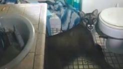 가정집 침입한 퓨마, 화장실에 갇힌 채 발견돼 구조