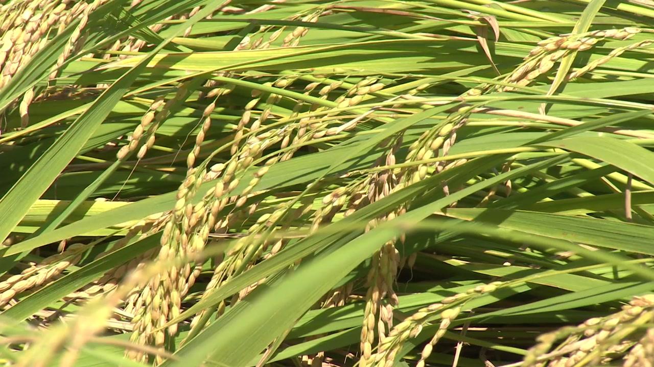 수확기에 온 태풍 '미탁'...농작물 피해 비상