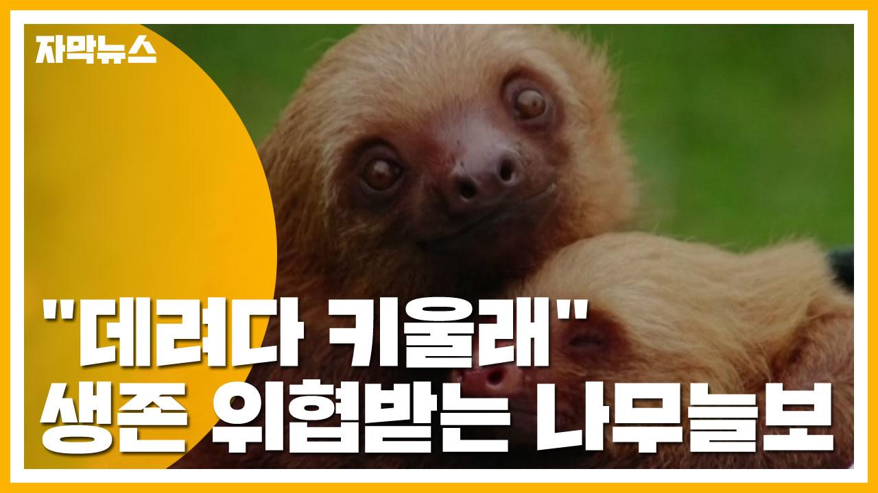 """[자막뉴스] """"데려다 키울래"""" 생존 위협받는 나무늘보"""