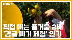 [자막뉴스] 감귤도 따고 핑크뮬리도 보고!...제주에서 가을을 즐겨요
