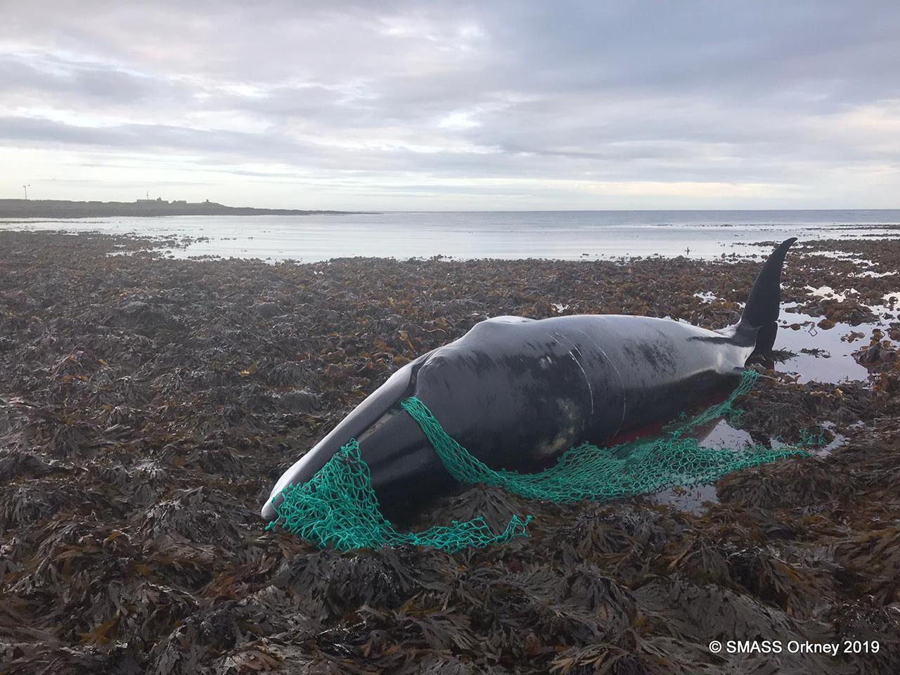 낚시 그물에 엉킨 채 발견된 임신한 밍크고래 사체