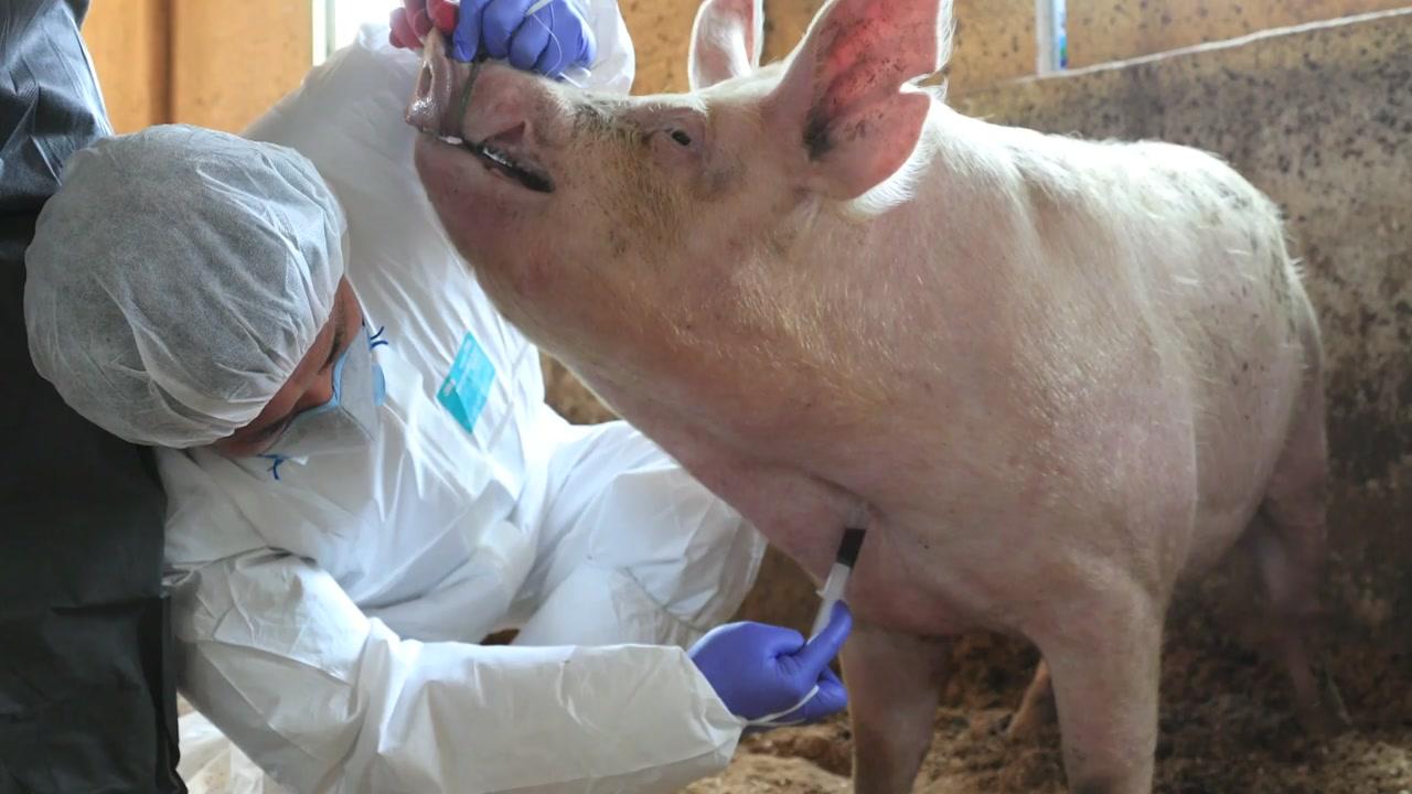 발생 한 달, 농장은 '잠잠'...아생멧돼지 포획 전력