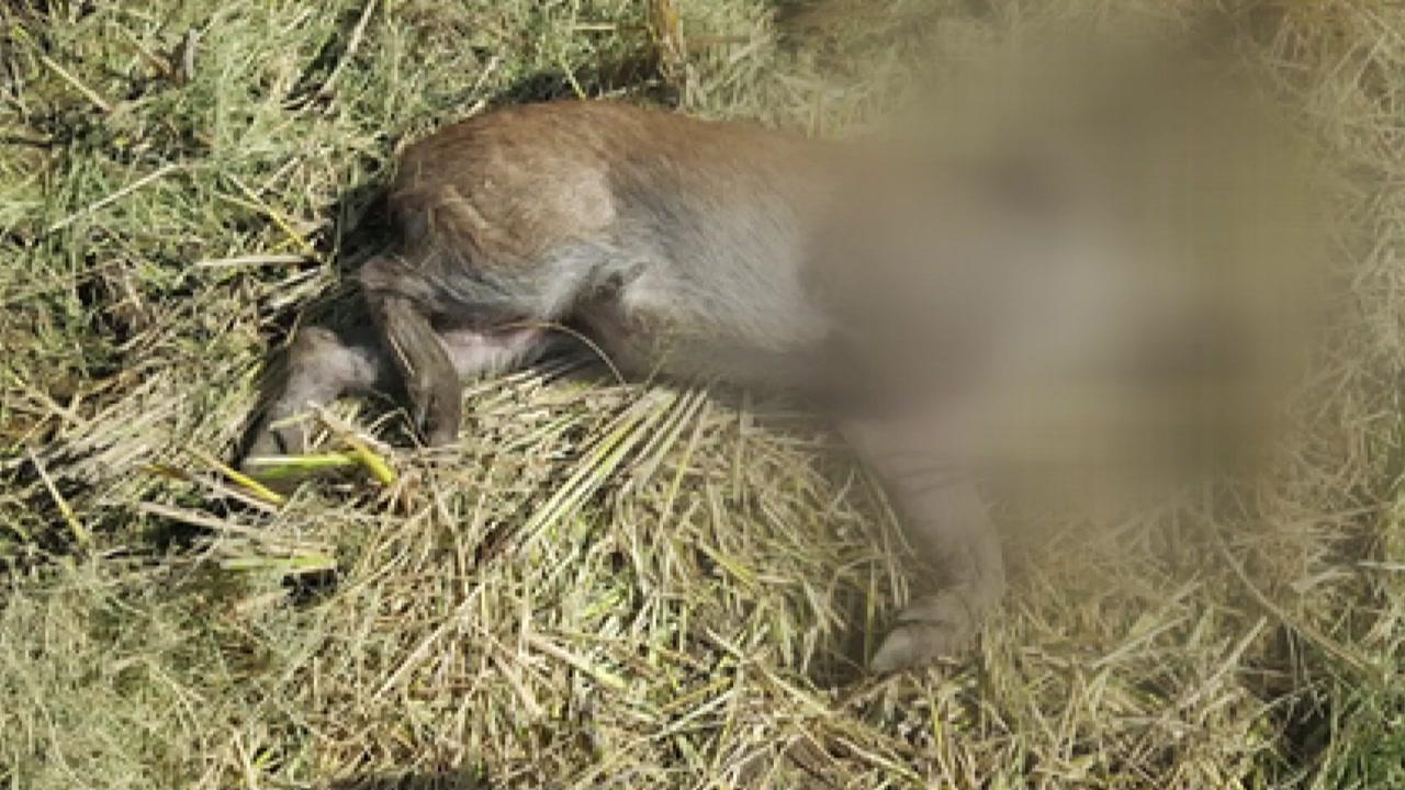 감염 멧돼지 폐사체 또 발견...확산 우려